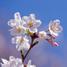 慶応桜 日本一早い 桜の販売